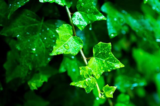 雨に濡れる葉の写真