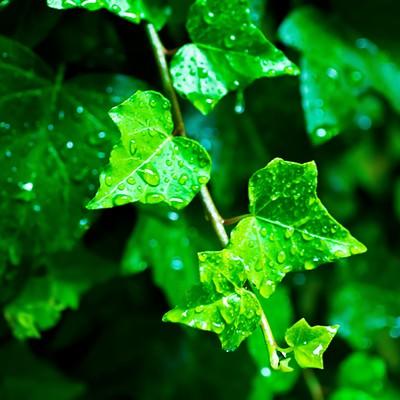 「雨に濡れる葉」の写真素材