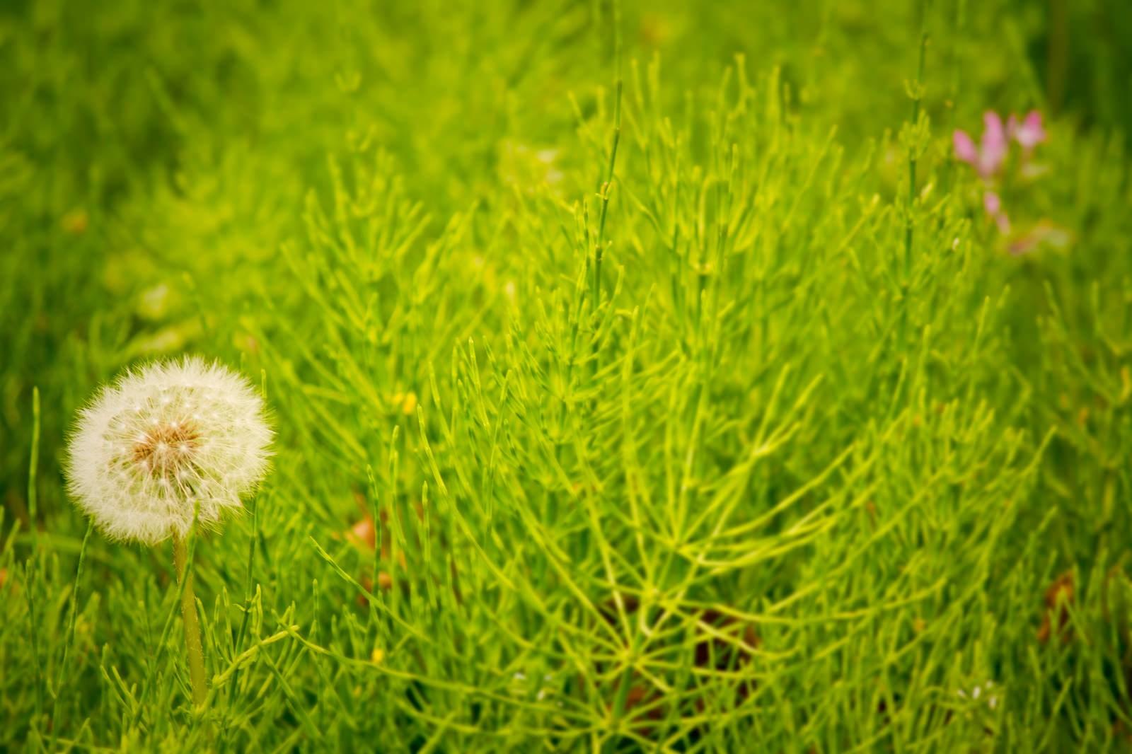「草原に生えるわたげ」の写真