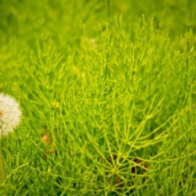 草原に生えるわたげの写真
