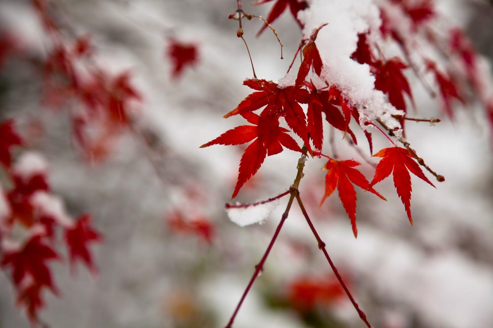 「紅葉と積もる雪」の写真