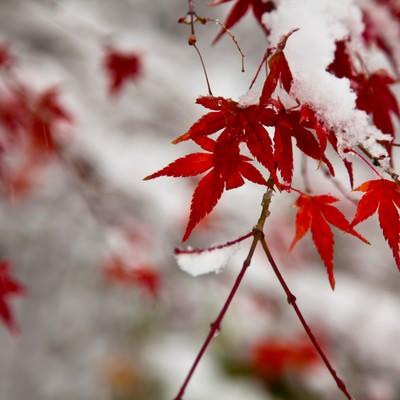 紅葉と積もる雪の写真
