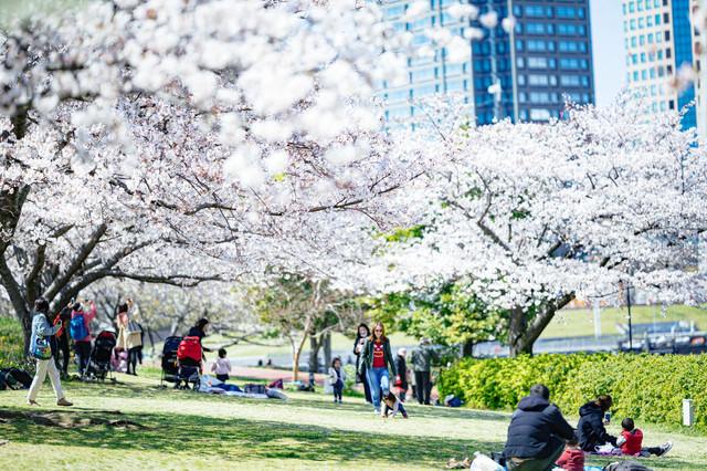 桜満開を楽しむ人たちの写真