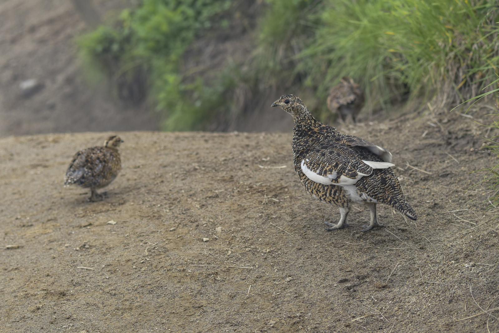 「鷲羽岳の登山道を歩くライチョウの親子」の写真