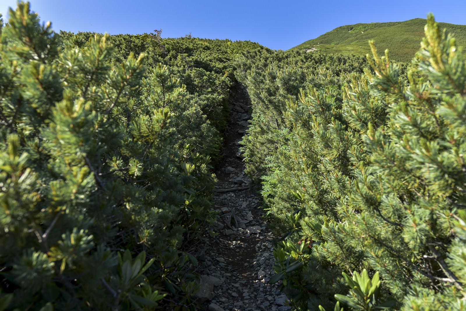 「ハイマツに覆われた仙丈ケ岳の登山道」の写真