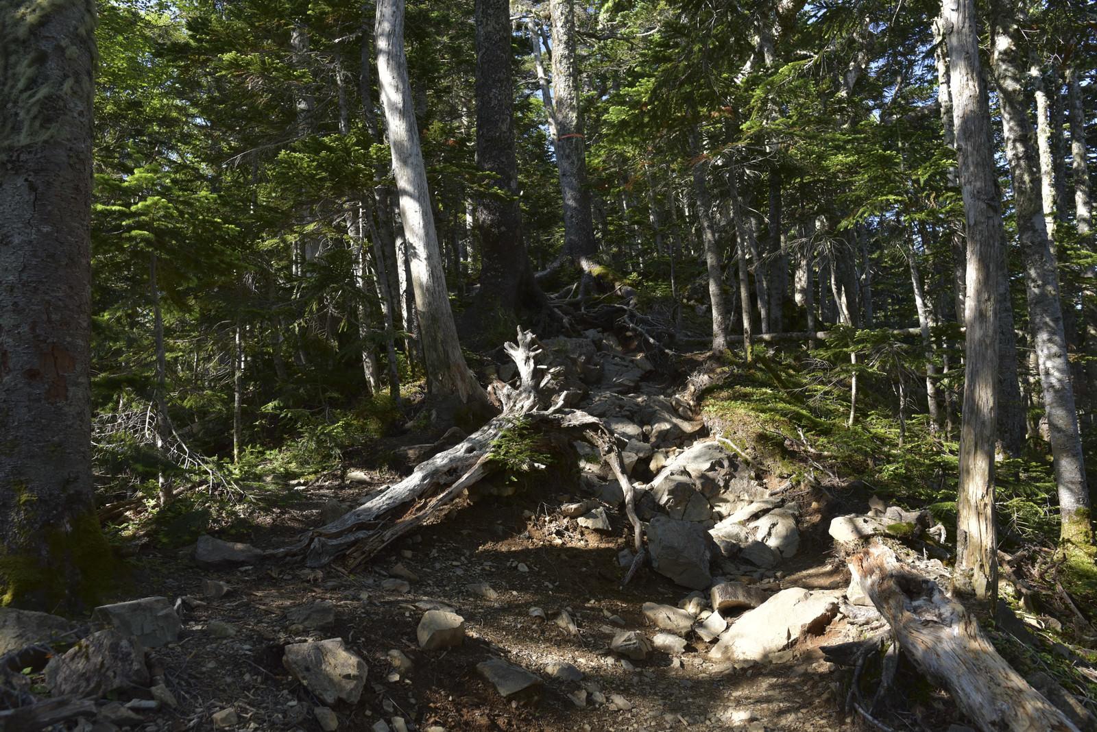 「木漏れ日の仙丈ヶ岳中腹の登山道」の写真