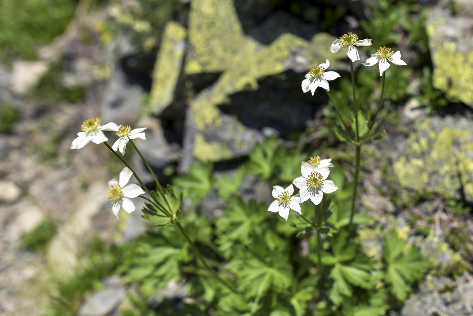 「稜線に咲くハクサンイチゲの花(仙丈ヶ岳)」の写真