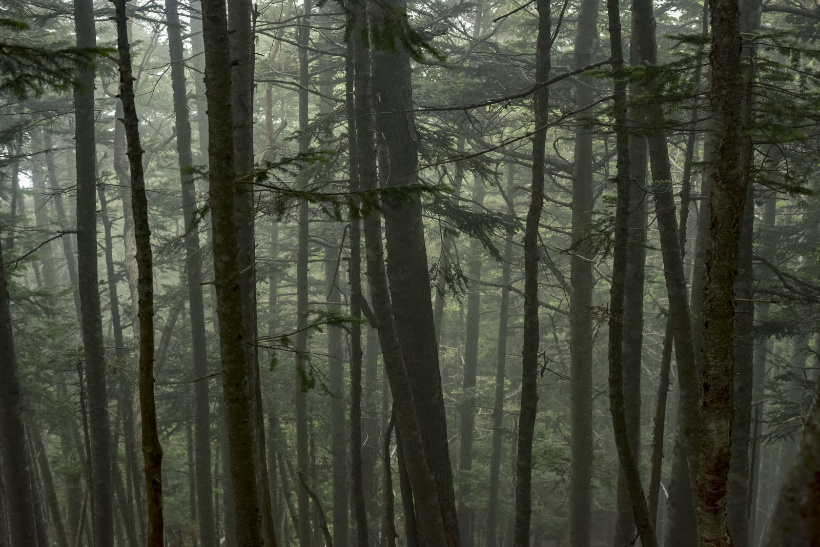 「雲に包まれた樹林の中の景色(仙丈ヶ岳)」の写真