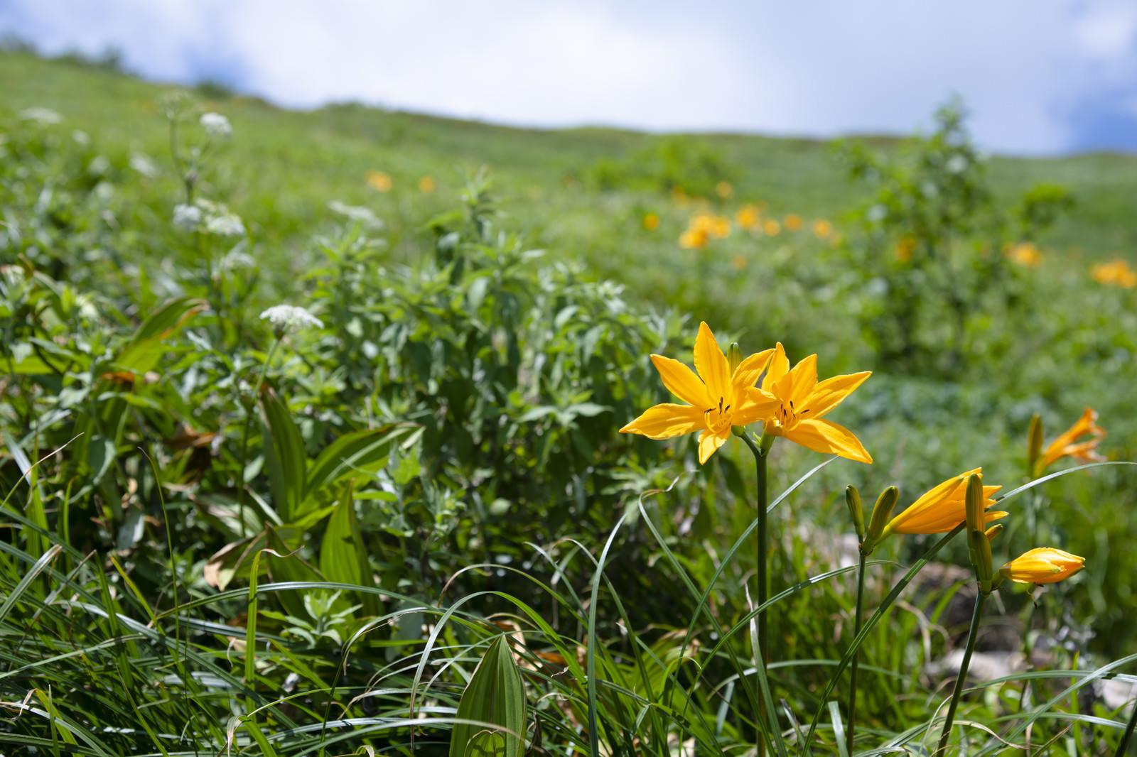 「瑞々しい花を咲かせる白山のニッコウキスゲ」の写真