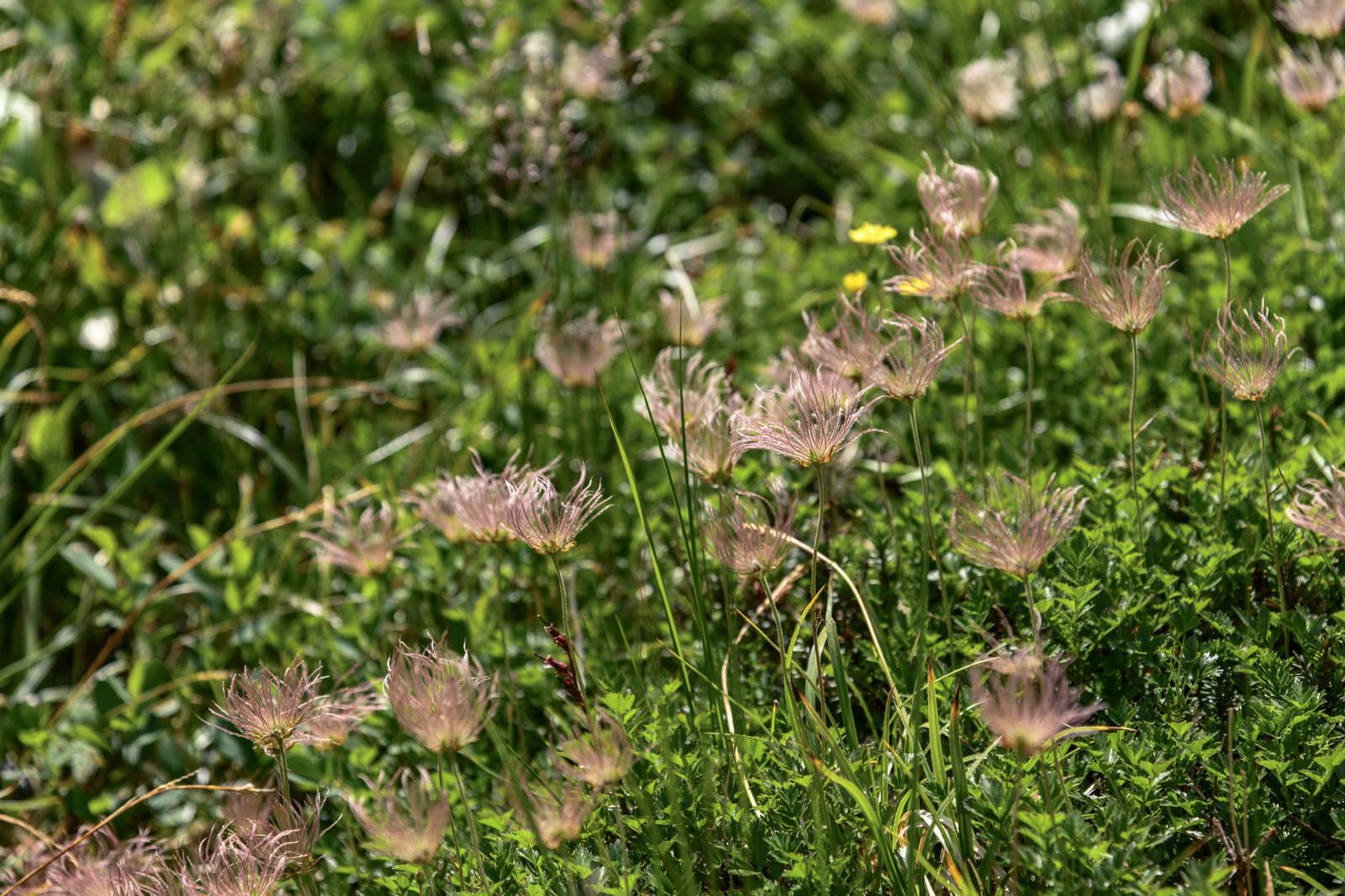 「花が散ったチングルマ達(白山)」の写真