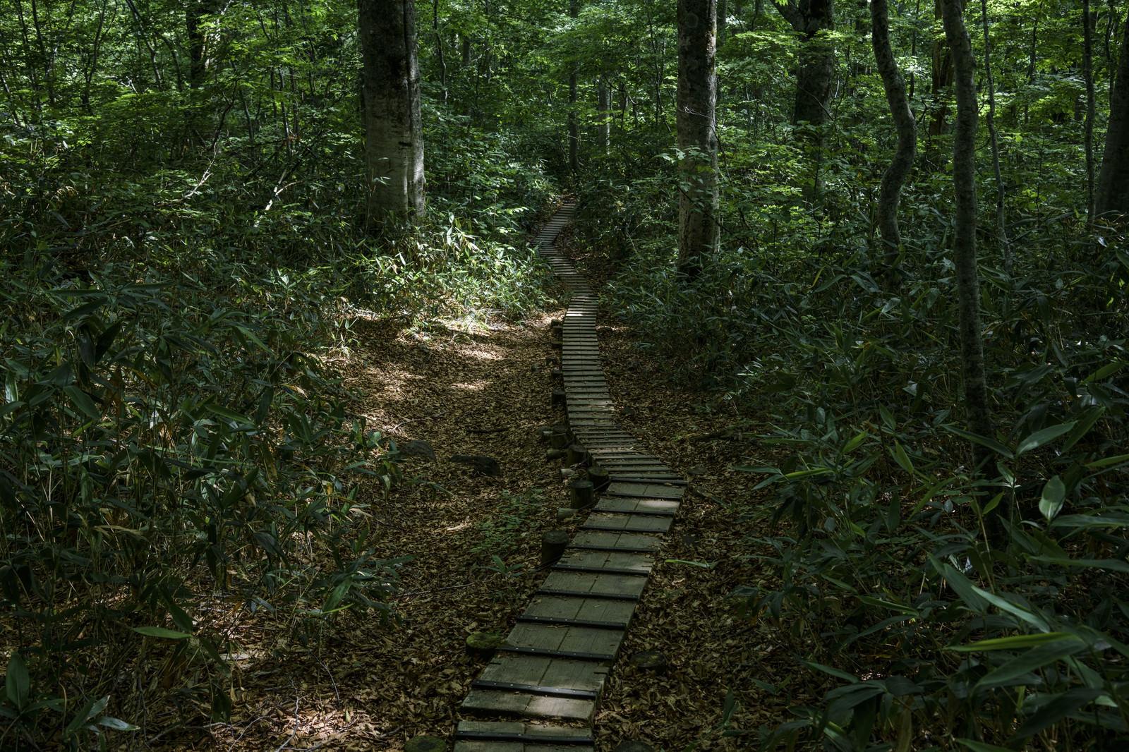 「樹林帯を走る木道(火打山)」の写真