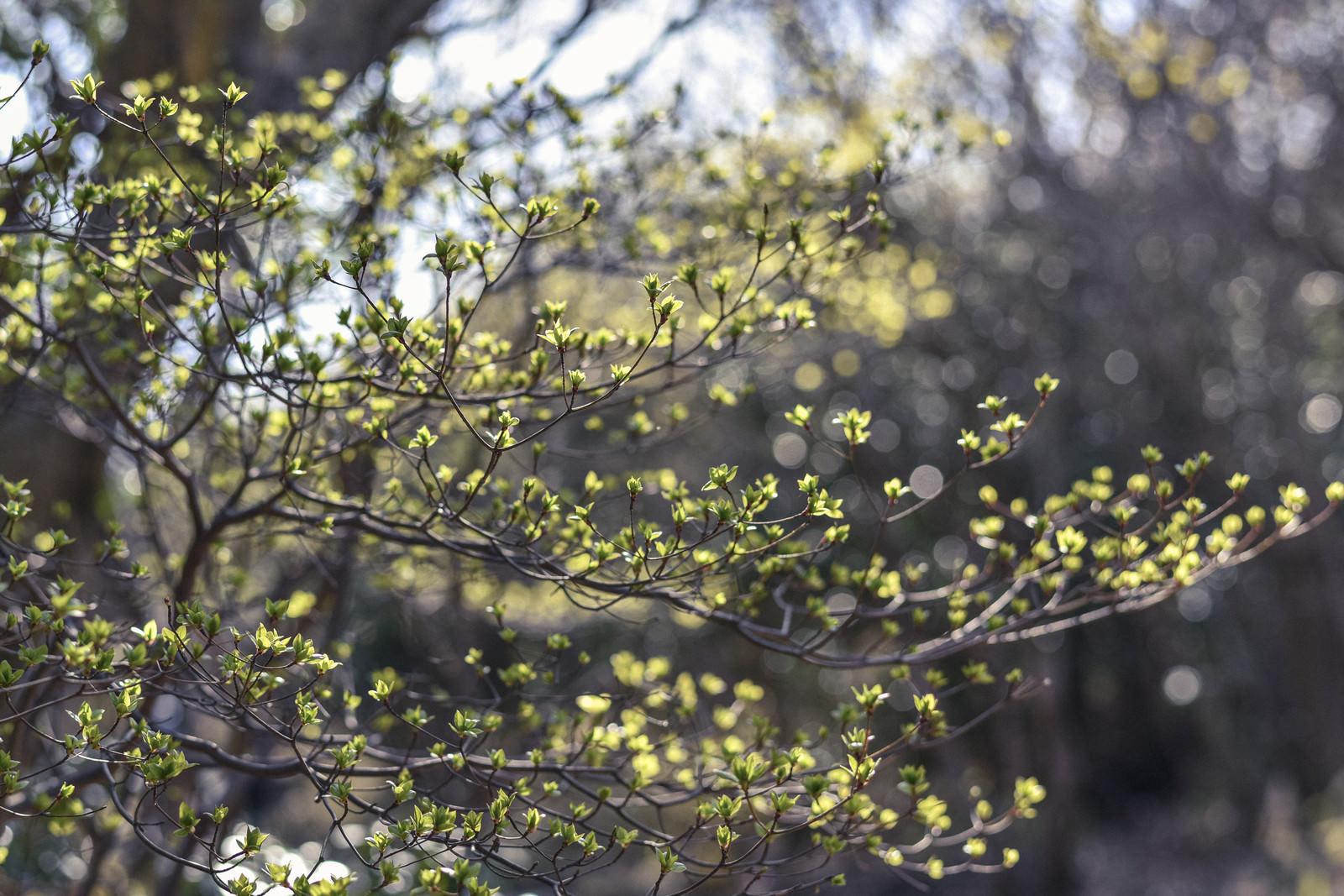 「朝の光降り注ぐ新緑の葉(久住山)」の写真