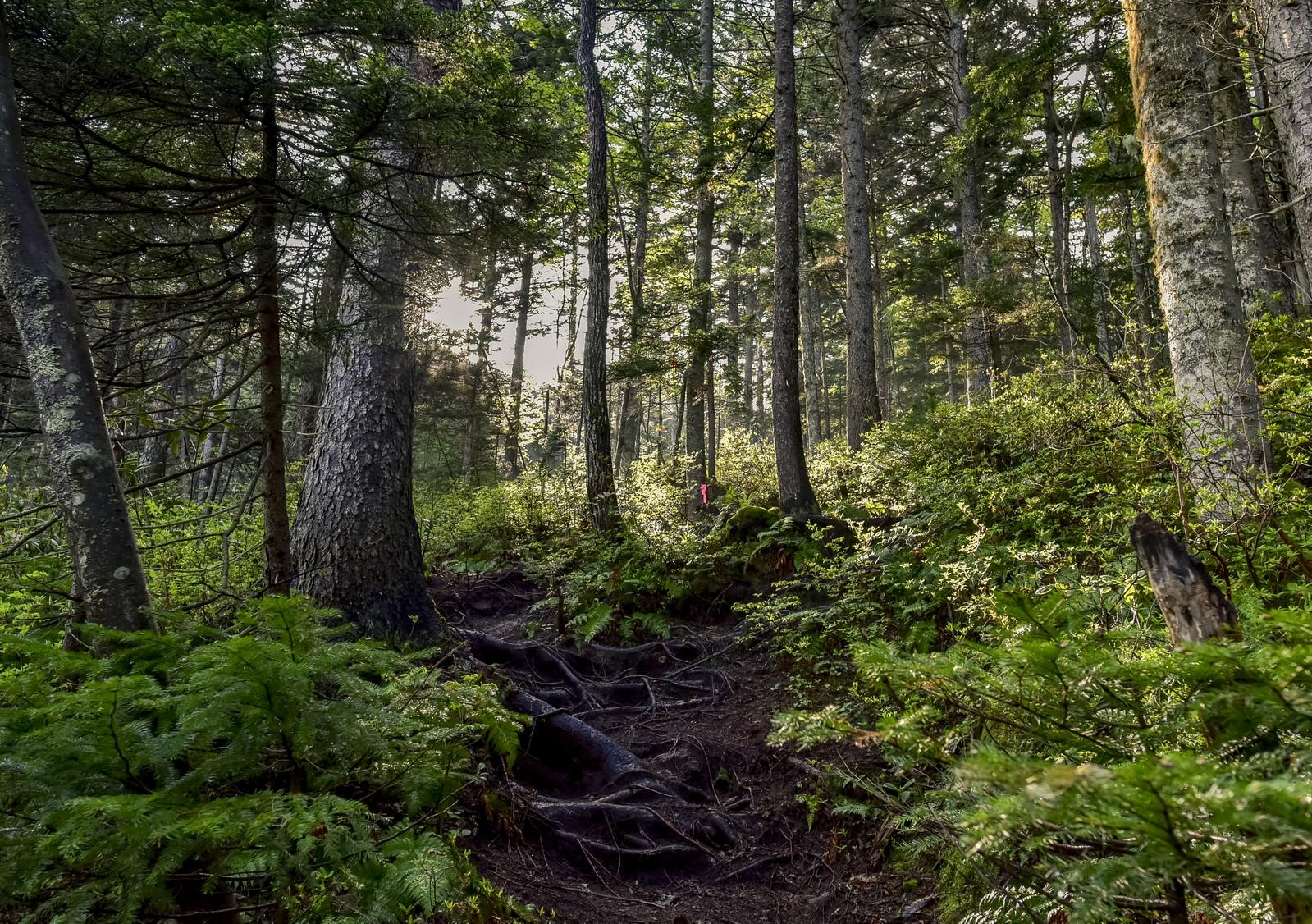 「朝日が差し込むエゾ松の森(雌阿寒岳)」の写真