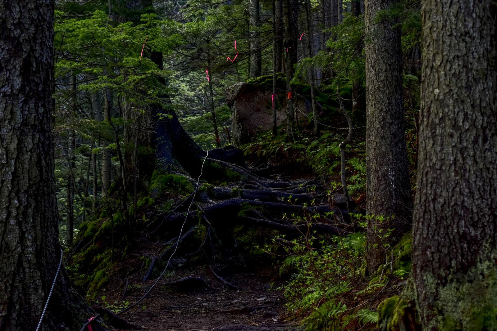 「赤いテープが張り巡らされた雌阿寒岳登山道」の写真