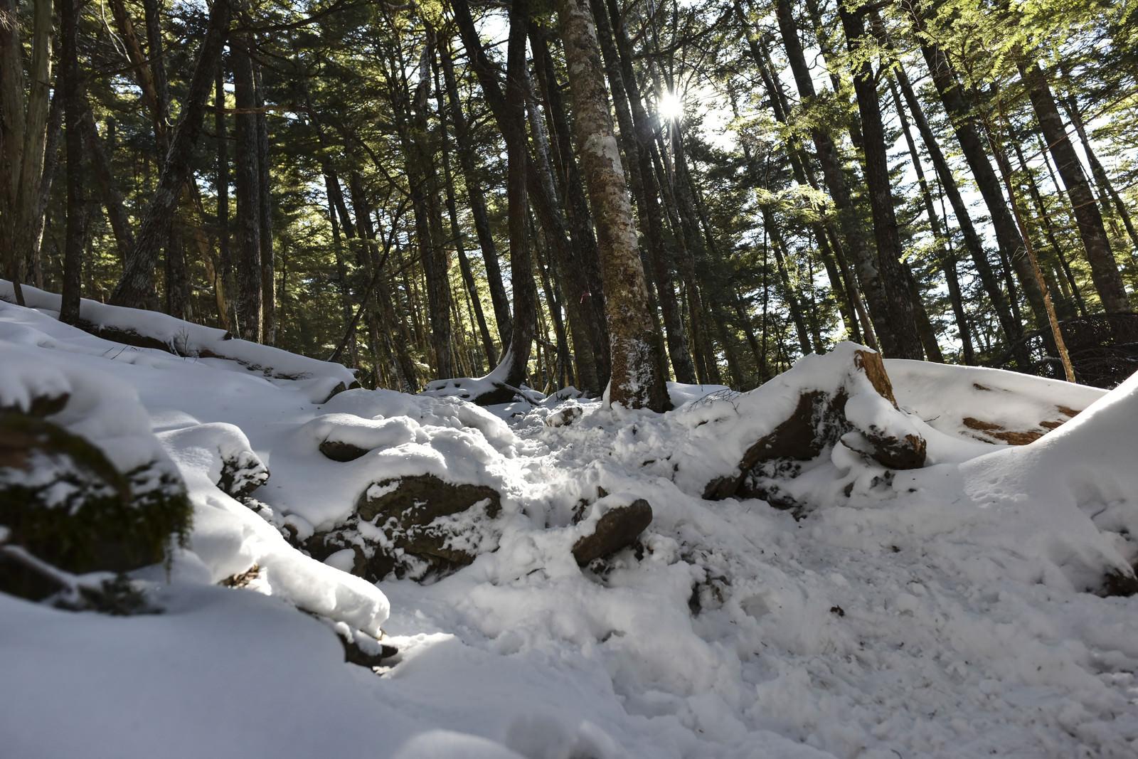 「雪が積もる奥秩父の樹林(金峰山)」の写真