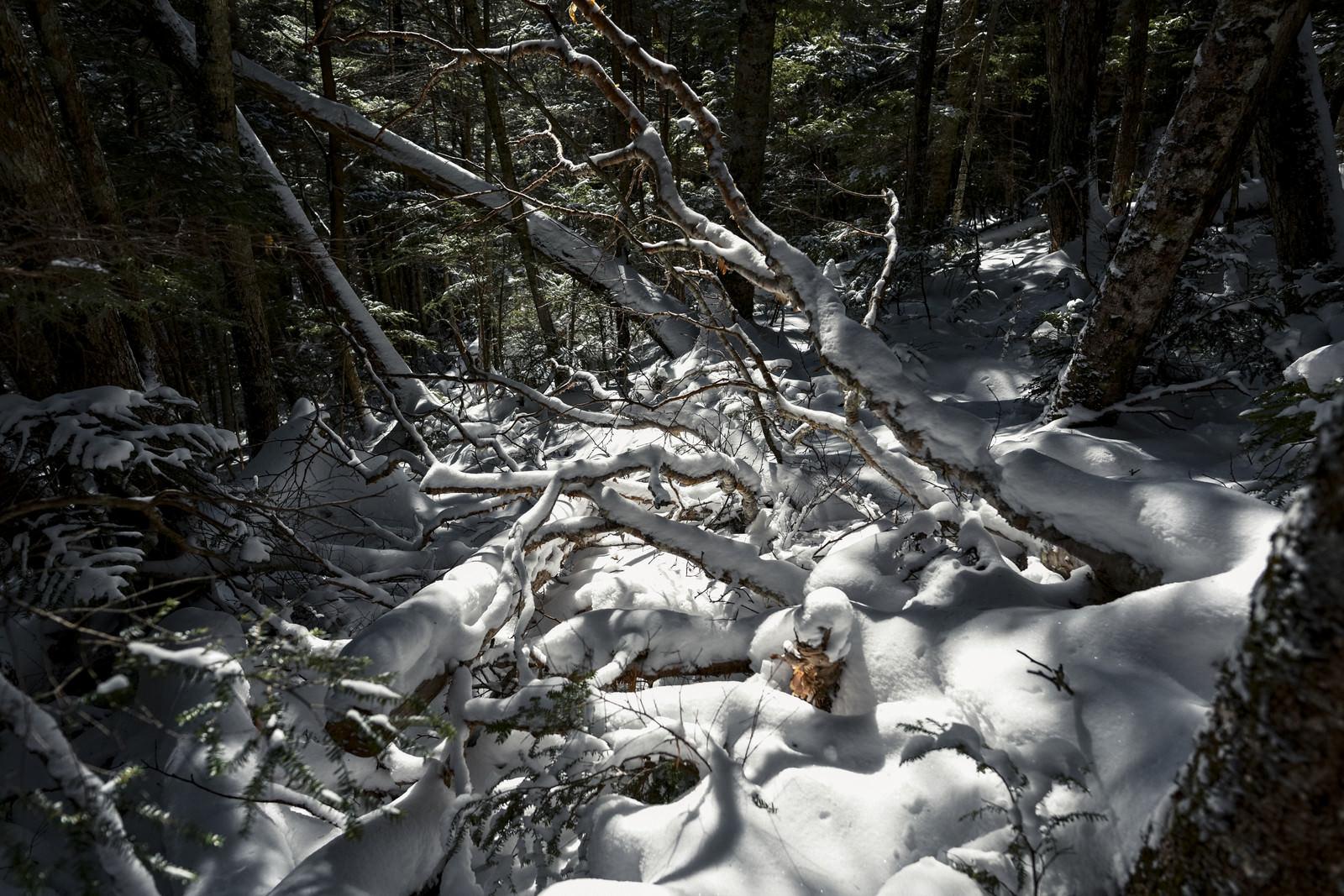 「雪に埋もれてゆく奥秩父の樹林(金峰山)」の写真