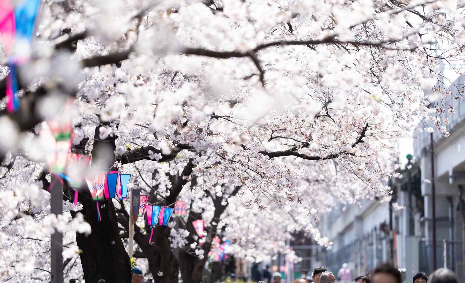 「満開の桜並木(大岡川桜まつり)」の写真