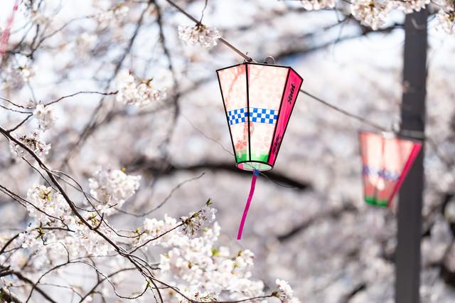 大岡川桜まつりの桜とぼんぼり(神奈川県)の写真