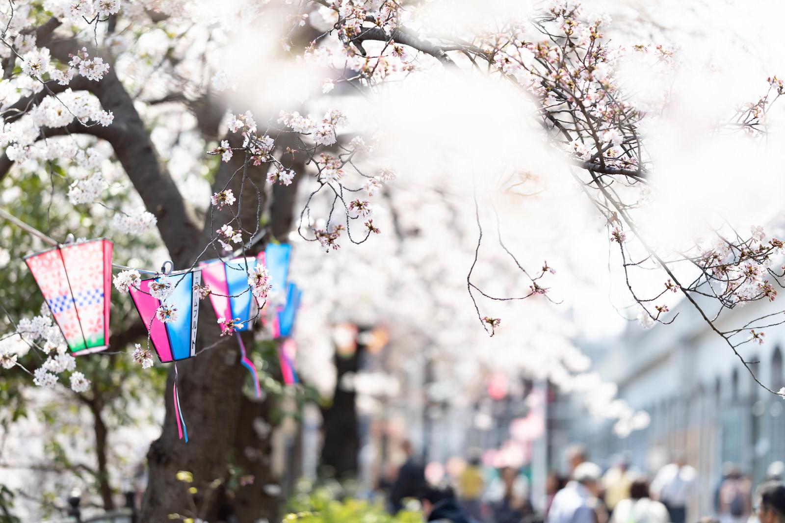 「風に揺らめく桜とぼんぼり(大岡川桜まつり)」の写真