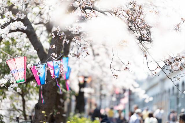 風に揺らめく桜とぼんぼり(大岡川桜まつり)の写真