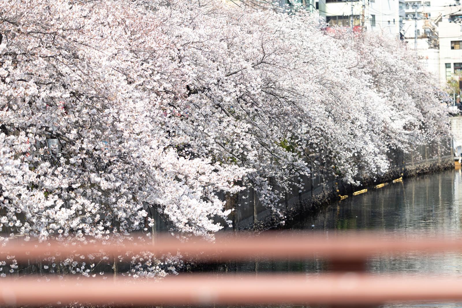 「大岡川沿いの満開の桜(神奈川県)」の写真