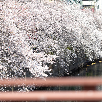 大岡川沿いの満開の桜(神奈川県)の写真
