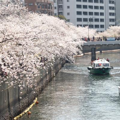 大岡川沿いに咲く桜並木と屋形船(神奈川県)の写真