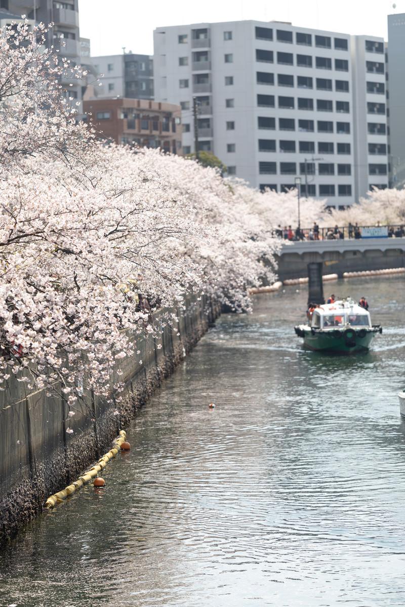 「大岡川沿いに咲く桜並木と屋形船(神奈川県)」の写真