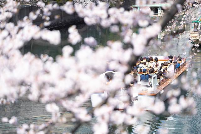 満開の桜越しに見る屋形船(大岡川桜まつり)の写真