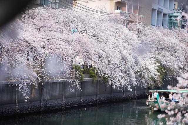 大岡川沿いの満開の桜と花見クルーズ中の屋形船(神奈川県)の写真