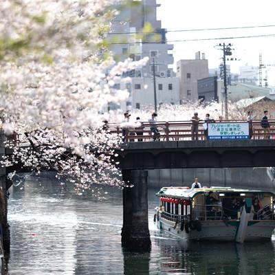 橋の上から見る満開の桜と屋形船(大岡川桜まつり)の写真