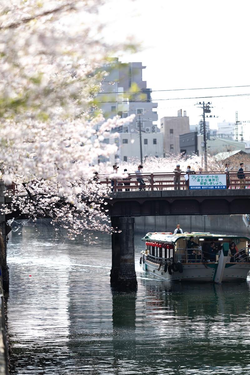 「橋の上から見る満開の桜と屋形船(大岡川桜まつり)」の写真
