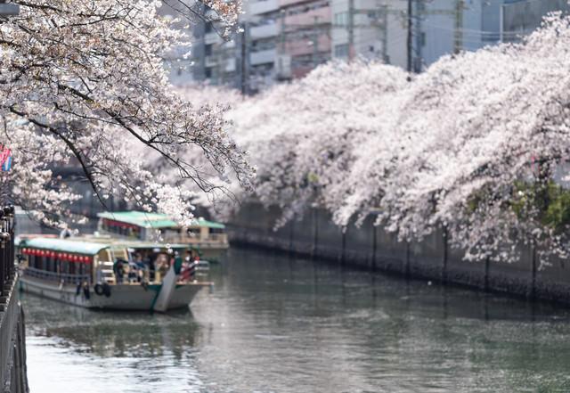 大岡川沿いの満開の桜と屋形船(神奈川県)の写真