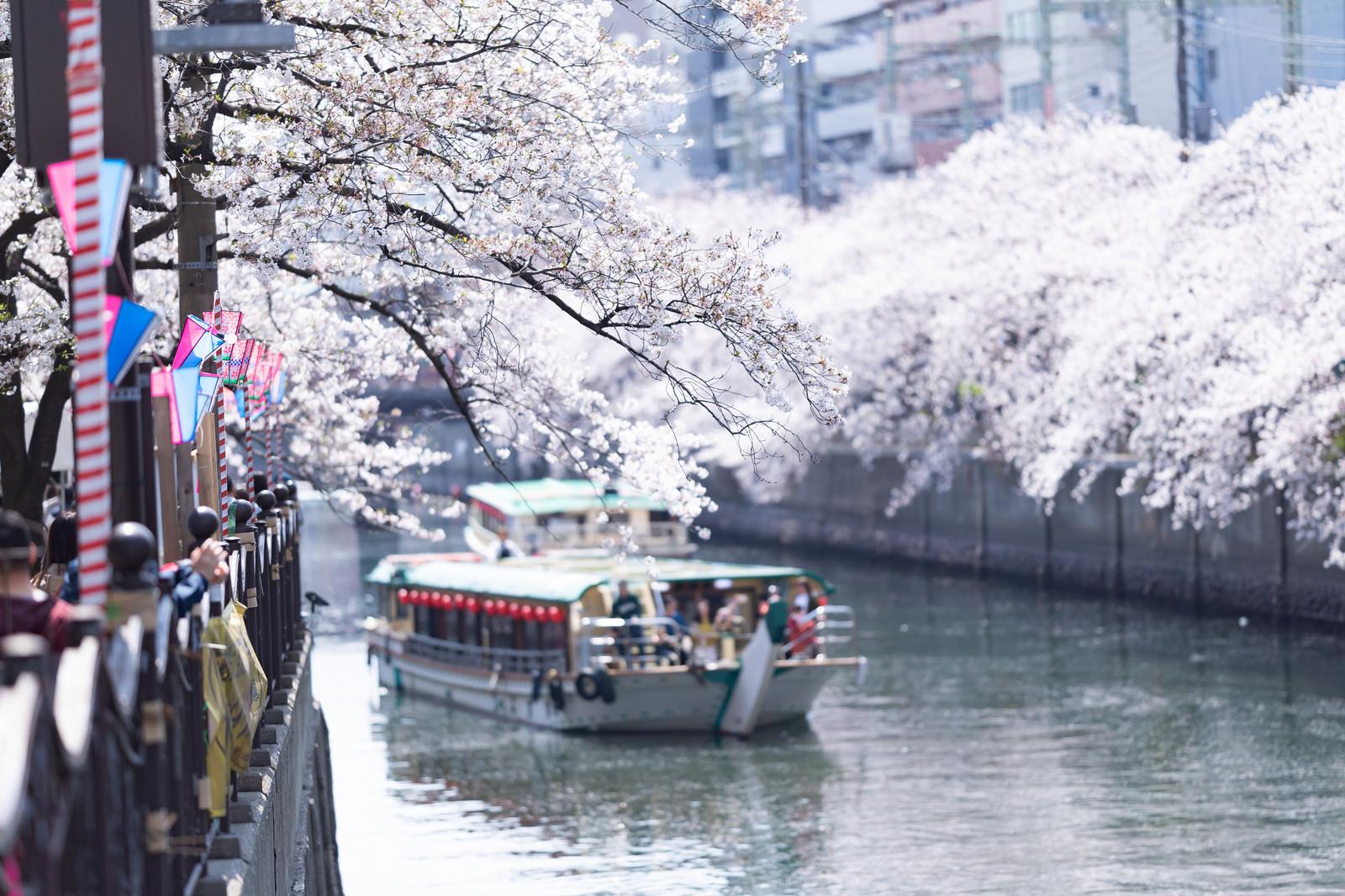 「桜まつり会場から見る大岡川の桜と屋形船(神奈川県)」の写真