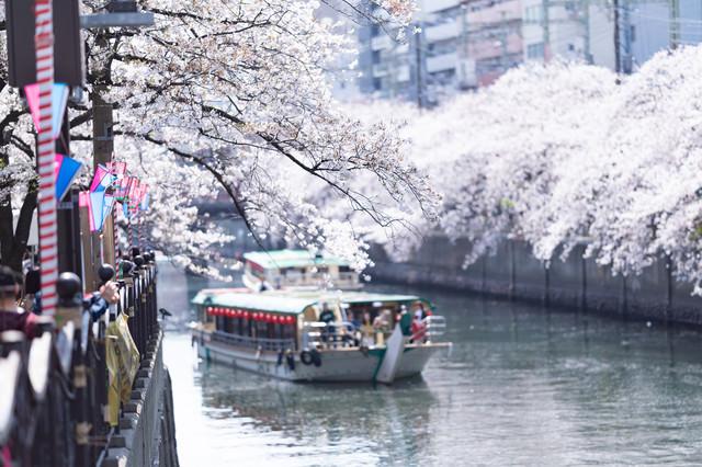 桜まつり会場から見る大岡川の桜と屋形船(神奈川県)の写真