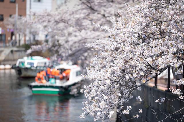 大岡川沿いの並木桜とお花見屋形船(大岡川桜まつり)の写真