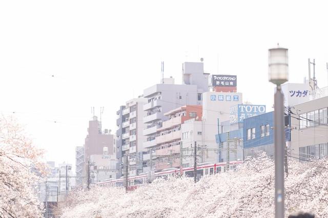 桜並木沿いを走る京急電車と街並みの写真
