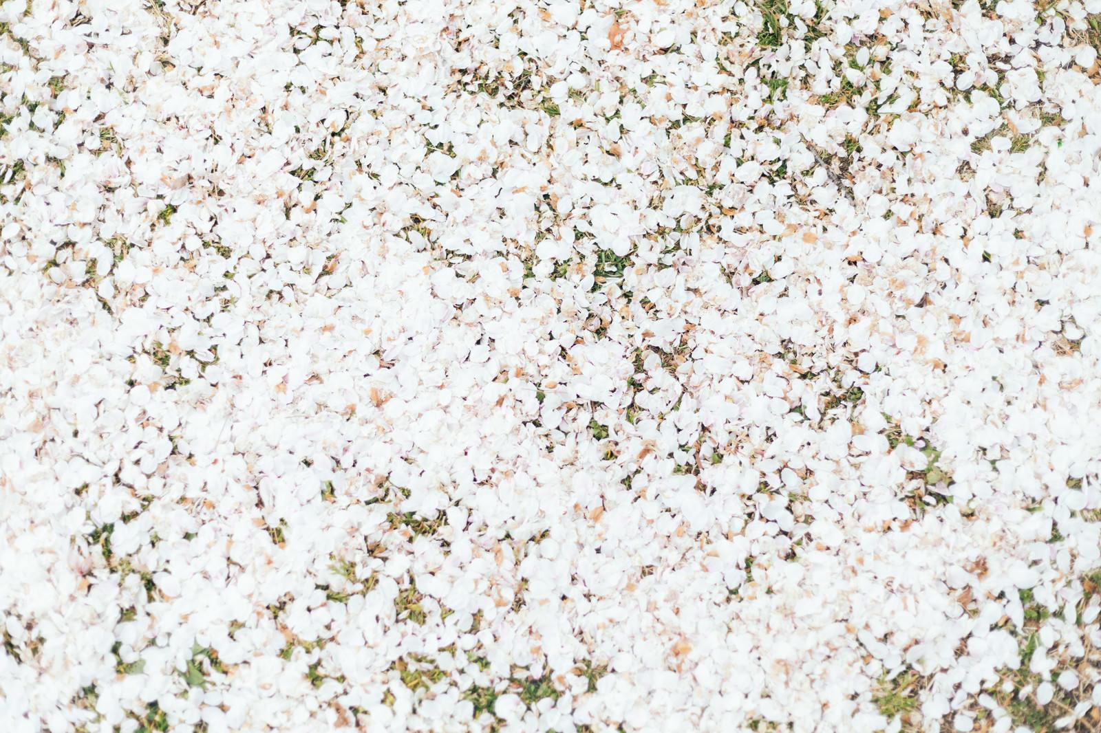 「散り行く桜の絨毯」の写真
