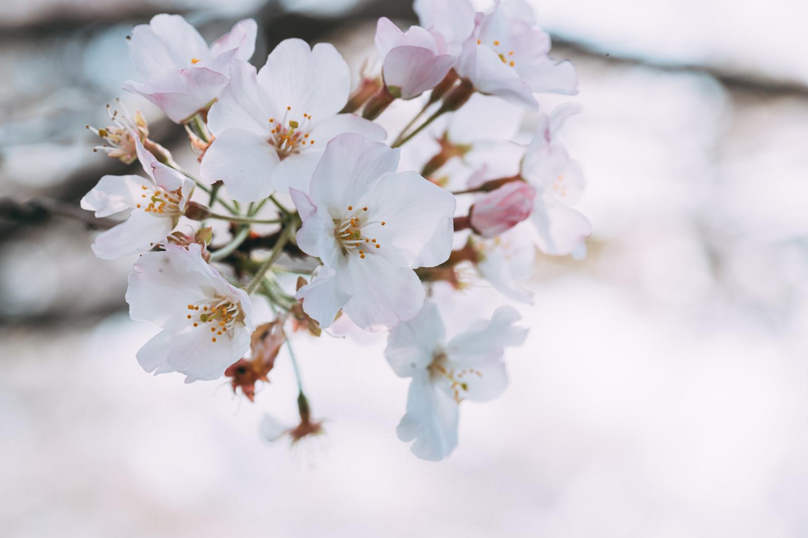 「桜の花開く」の写真