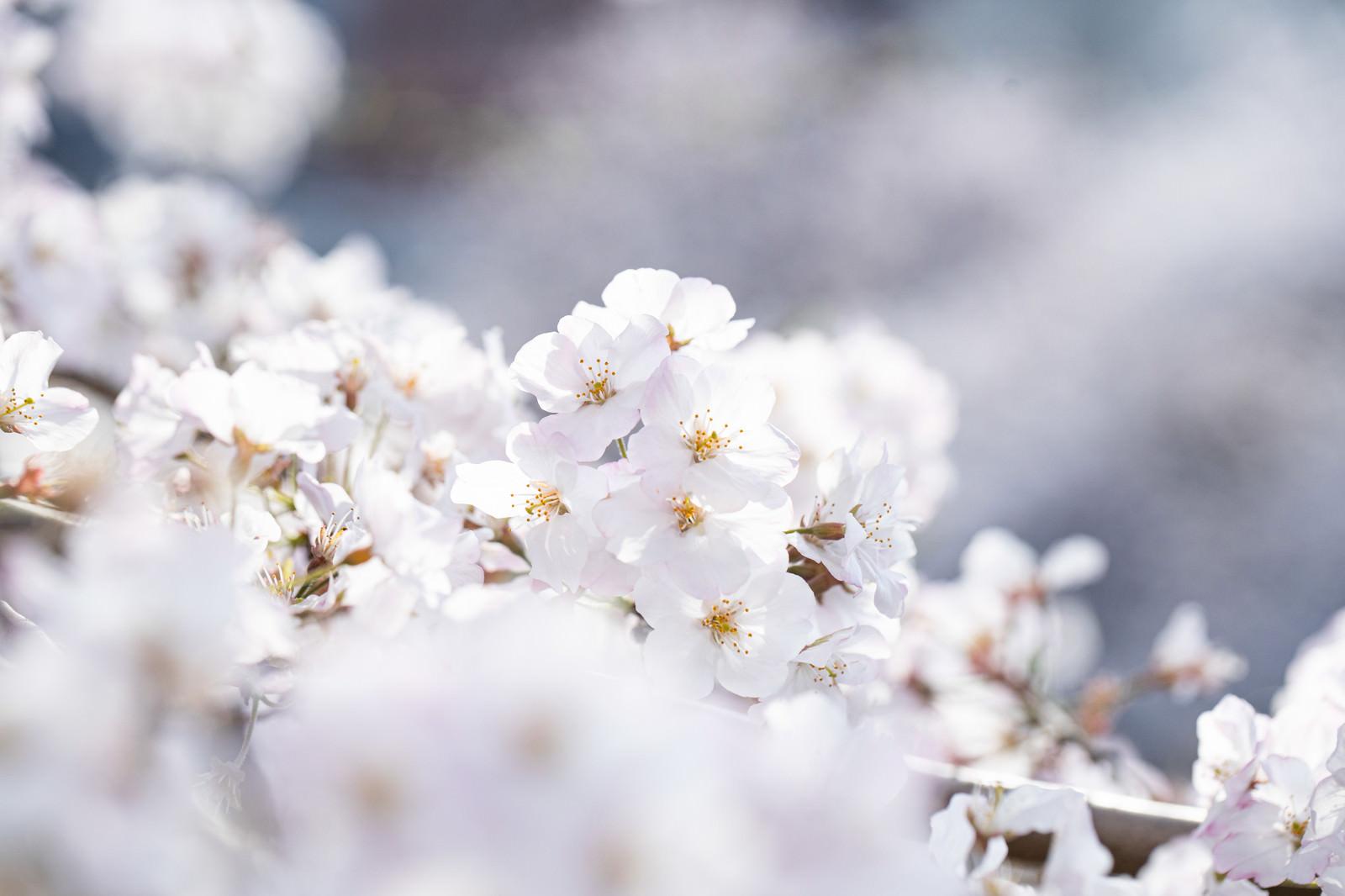 「春の訪れ、桜咲く」の写真