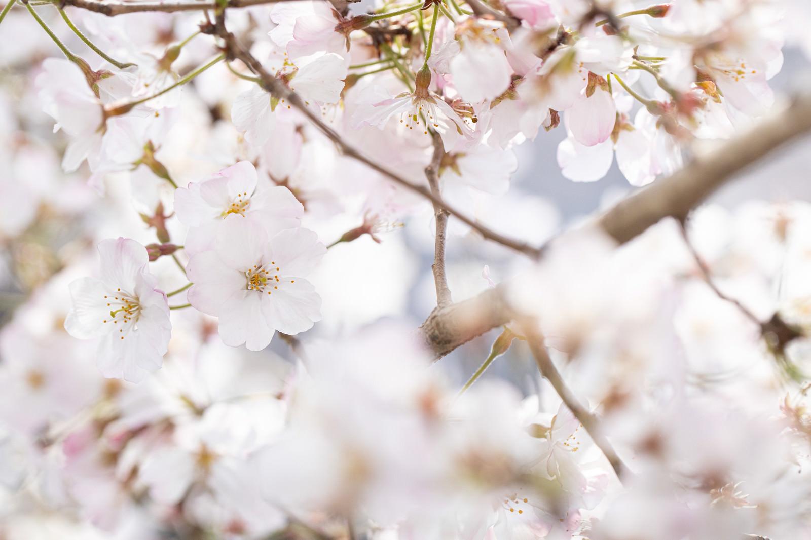 「桜の季節、春爛漫」の写真