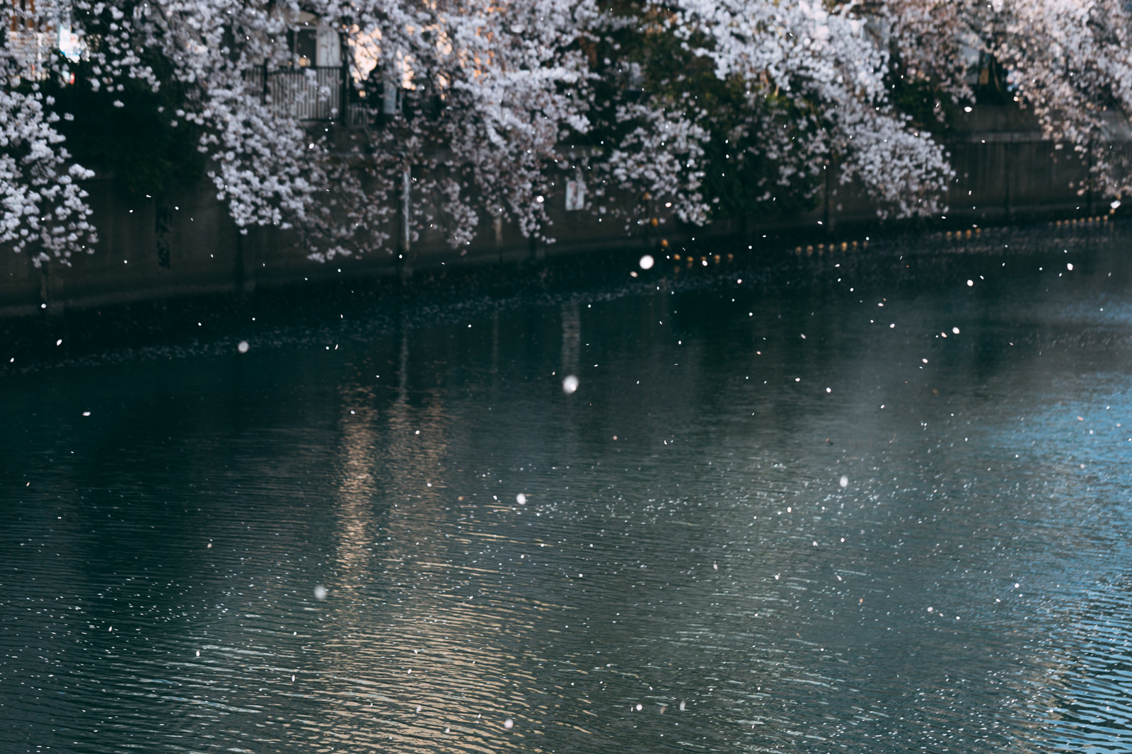 「桜舞い散る河川」の写真