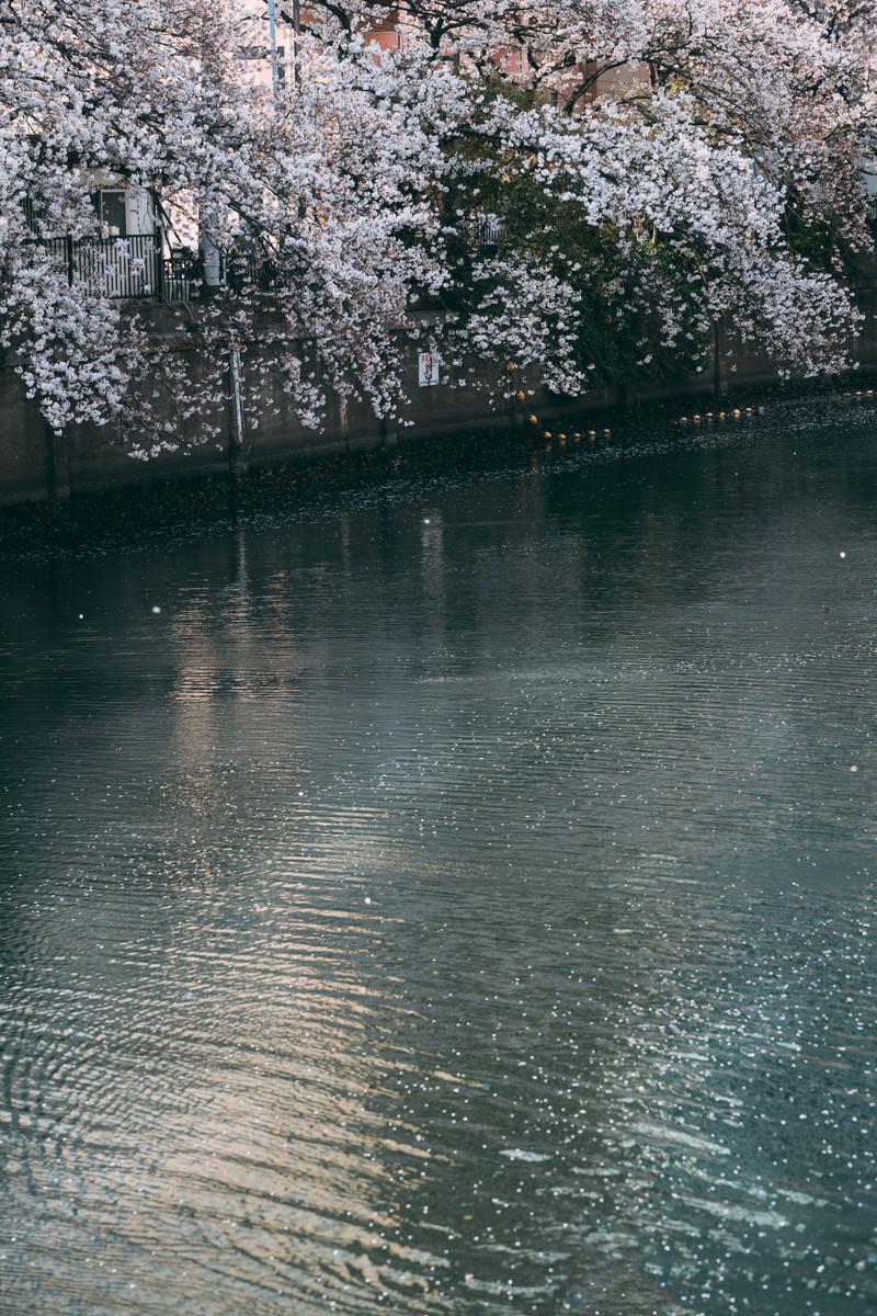 「大岡川の桜」の写真