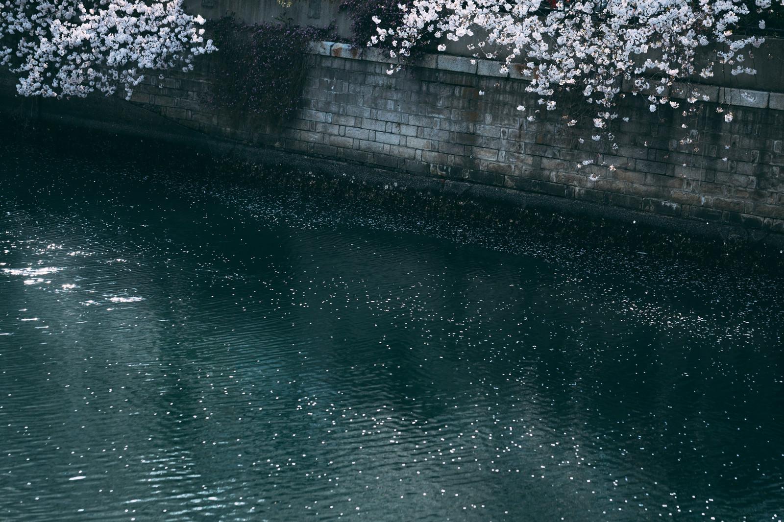 「河川の桜」の写真