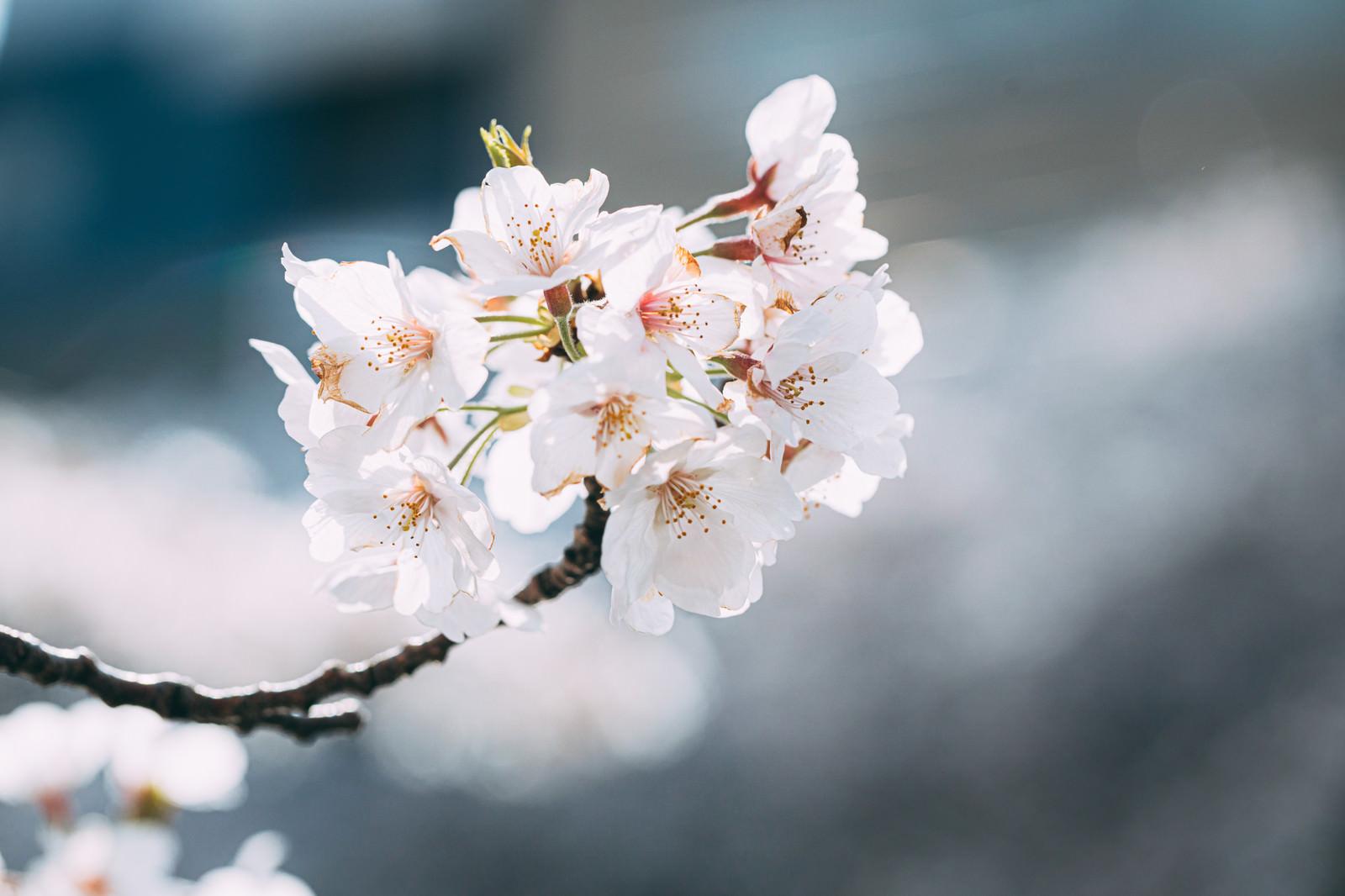 「花咲く桜(さくら)」の写真