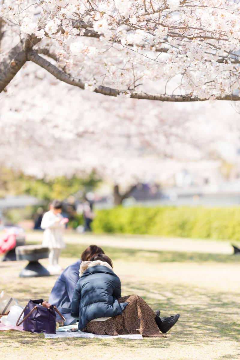 「満開の桜の下でお花見を楽しむ人達」の写真