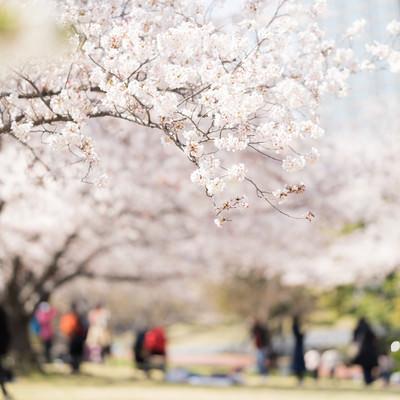 桜咲く公園の写真