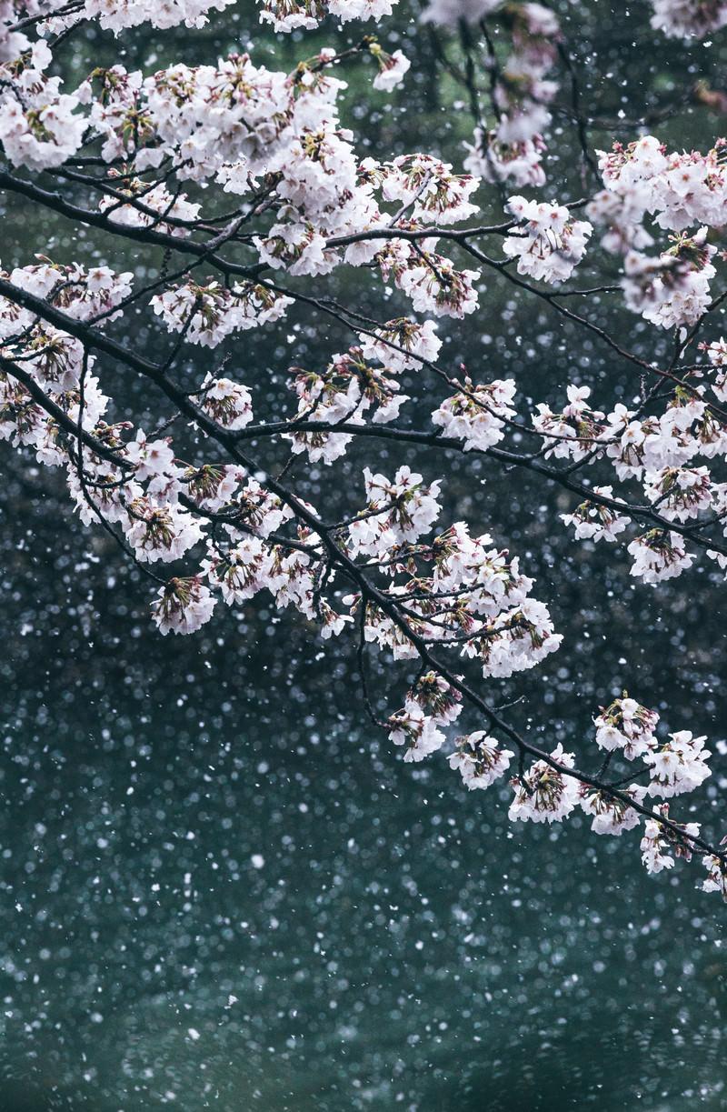 「雪桜と河川」の写真
