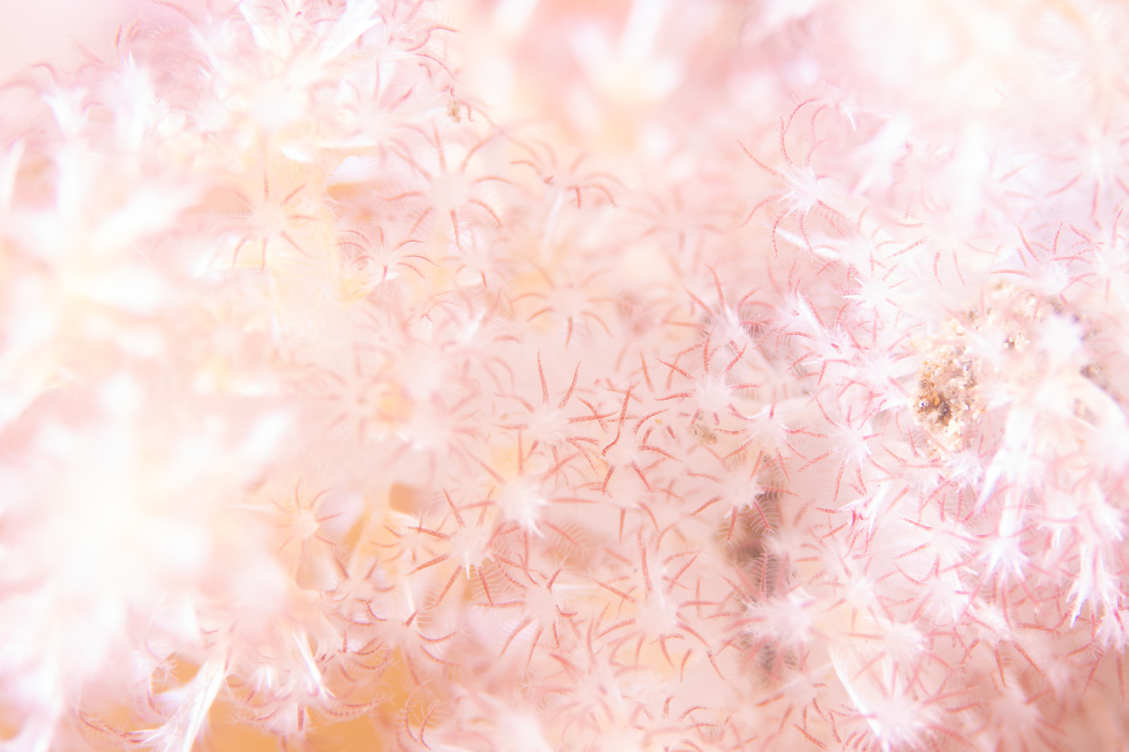 「ポリプを広げるトゲトサカ」の写真