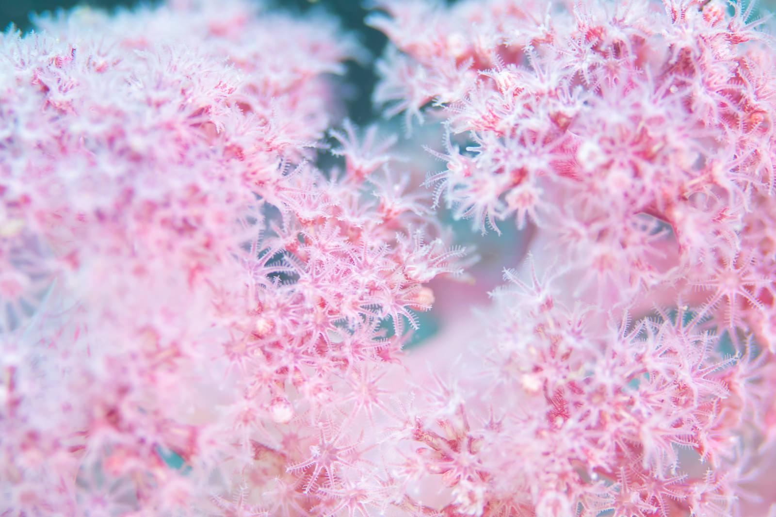 「ピンクのポリプを持つ水生動物」の写真